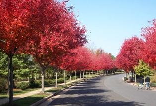红枫行道树
