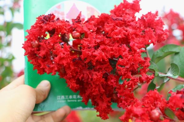 连云港种植的梅红色紫薇和国旗红紫薇有什么区别