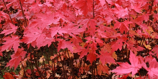 8公分、10公分、12公分、15公分北美红栎