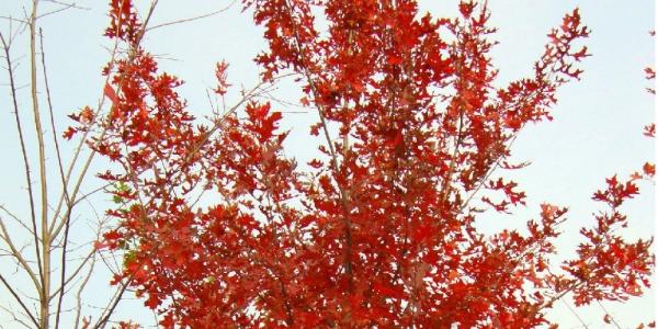 他家的苗木根部养护得好,所以苗木生长快。