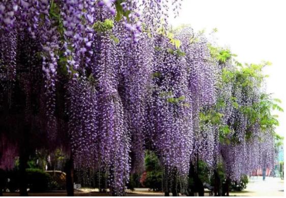 超实用:紫藤花的种植、养护技巧