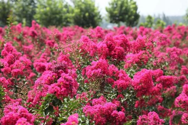 干货---紫薇秋冬季病、虫害防治