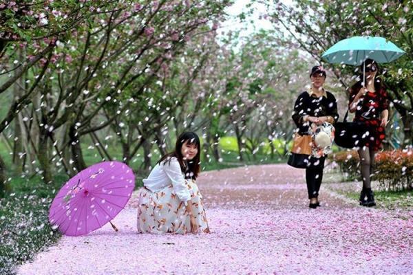 樱花雪月,落樱缤纷