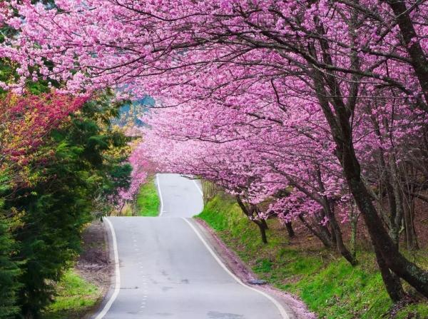 实用分享:樱花种植探讨