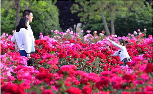5月,华彩三农的月季花尽显热辣美艳!