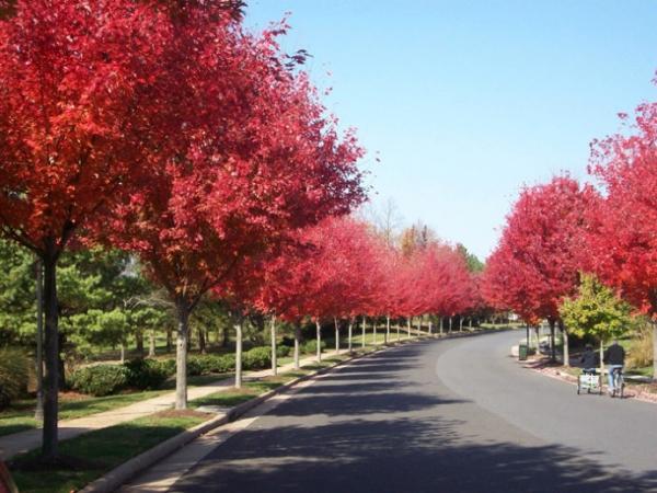 观叶效果极好的树种,您更看好哪一种?
