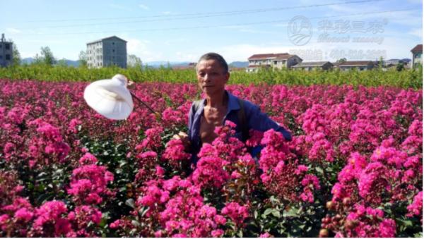分享:紫薇常见病虫害防治办法!