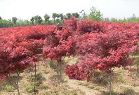 华彩三农告诉你红枫苗木的特性