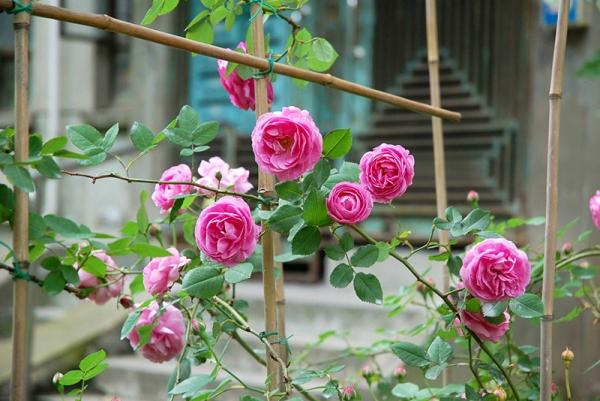 美丽的月季花,藏着你不知道的秘密