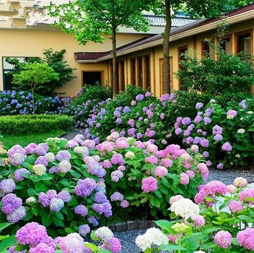 夏季疯狂的绣球花海,美如仙境!
