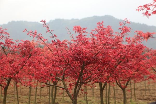 日本红枫、美国红枫与中国红枫的区别!