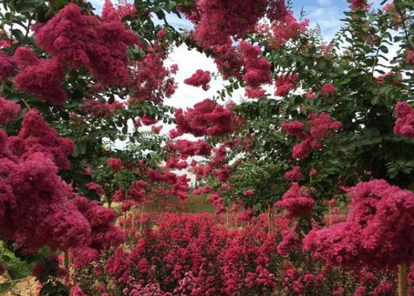 紫薇树这样剪,花开不断,花满枝头!