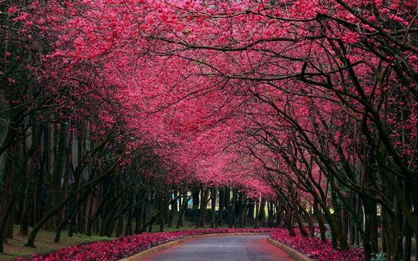 高颜值的观花树,让城市更出彩!