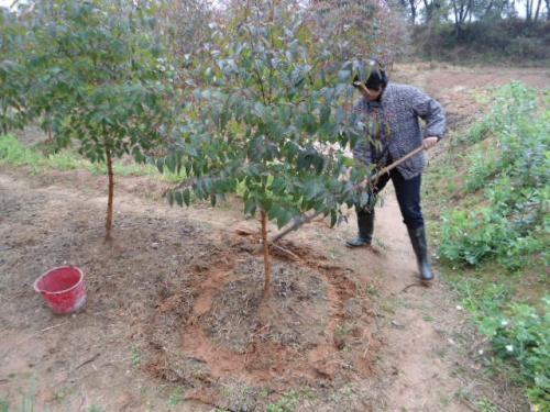 秋季苗木施肥,这么做护根又壮苗!