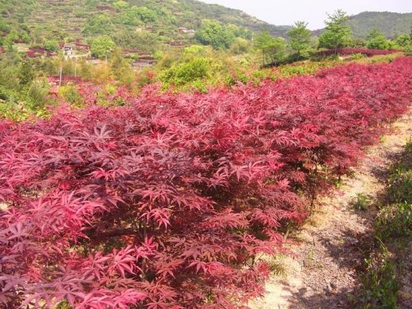 美国红枫发展状况及品种特征