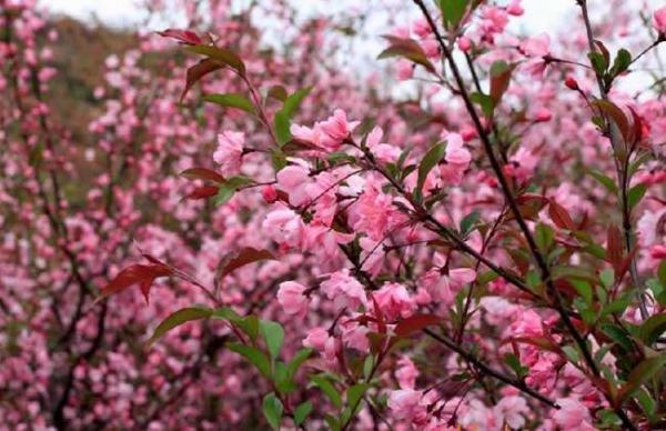 先了解下樱花形态特征