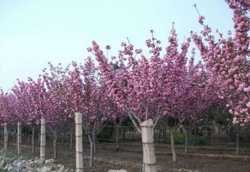 樱花基地培育盆栽樱花盆景的方法