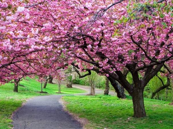 樱花基地培育优质樱花树苗的栽培施肥修剪技术