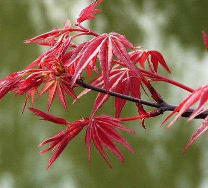 美国秋红枫有什么特点?