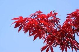 华彩三农告诉你红枫那些的特征