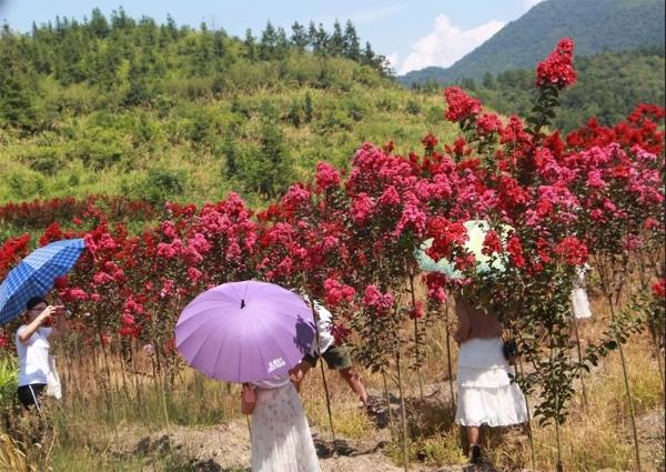 这个夏天,来华彩看最浪漫的紫薇花海,美到霸屏朋友圈!