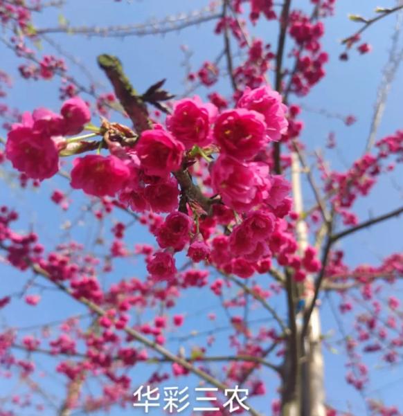 樱花烂漫春满园 美景如画醉游人