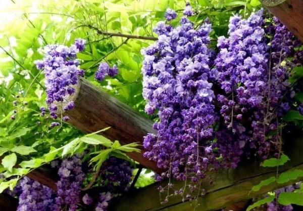 紫藤花已盛开,不仅等风,更等你……