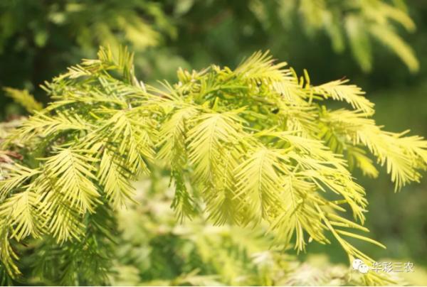 作为一个有层次的设计师,你必须知道的几种彩叶植物