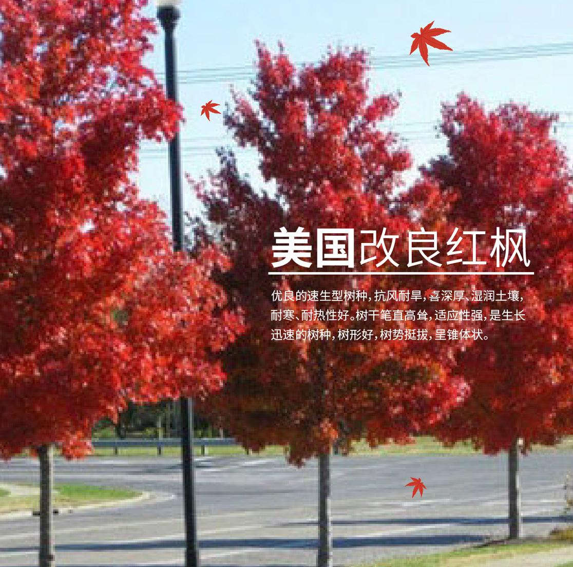 太阳谷红枫