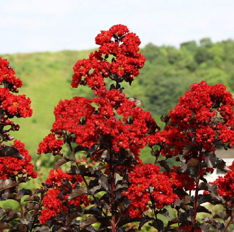 美国丹红紫薇