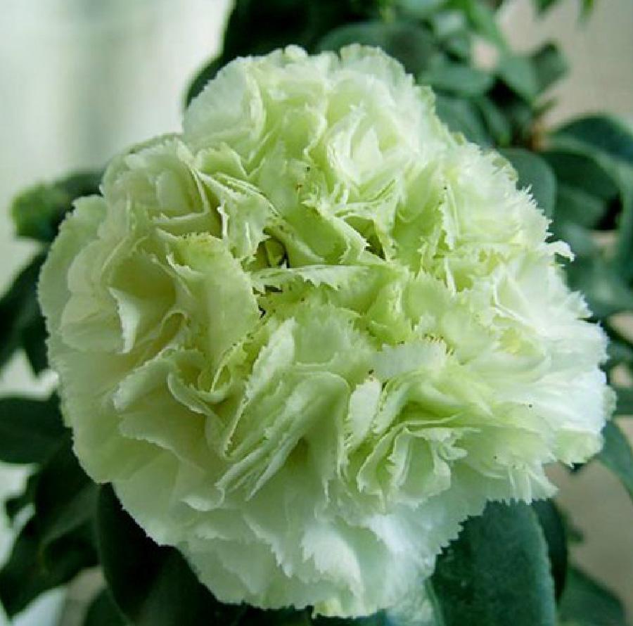 美国绿可娜茶花
