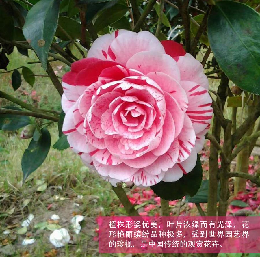 五色赤丹茶花