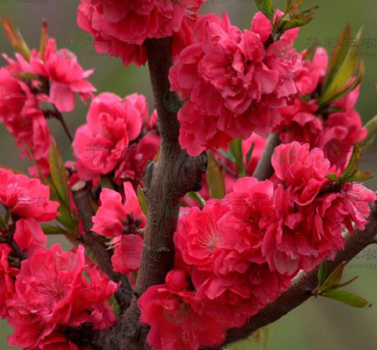 中国红观赏桃