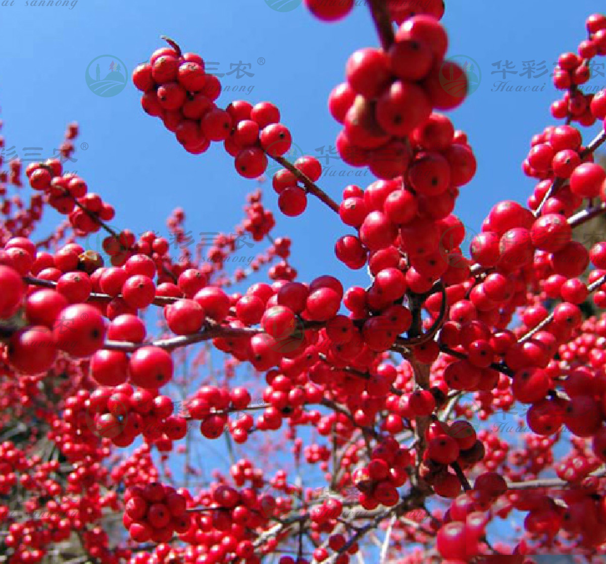 欧洲红果冬青