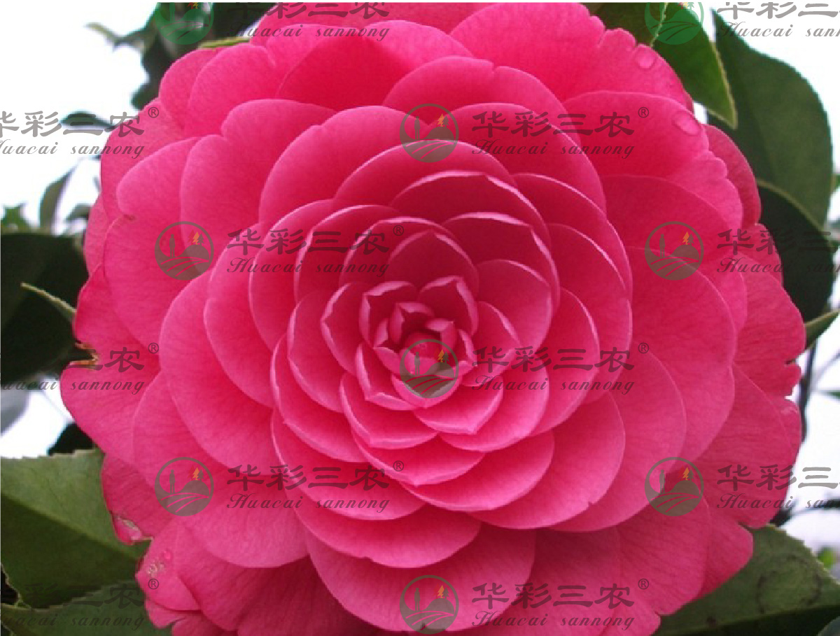 四川六角大红茶花