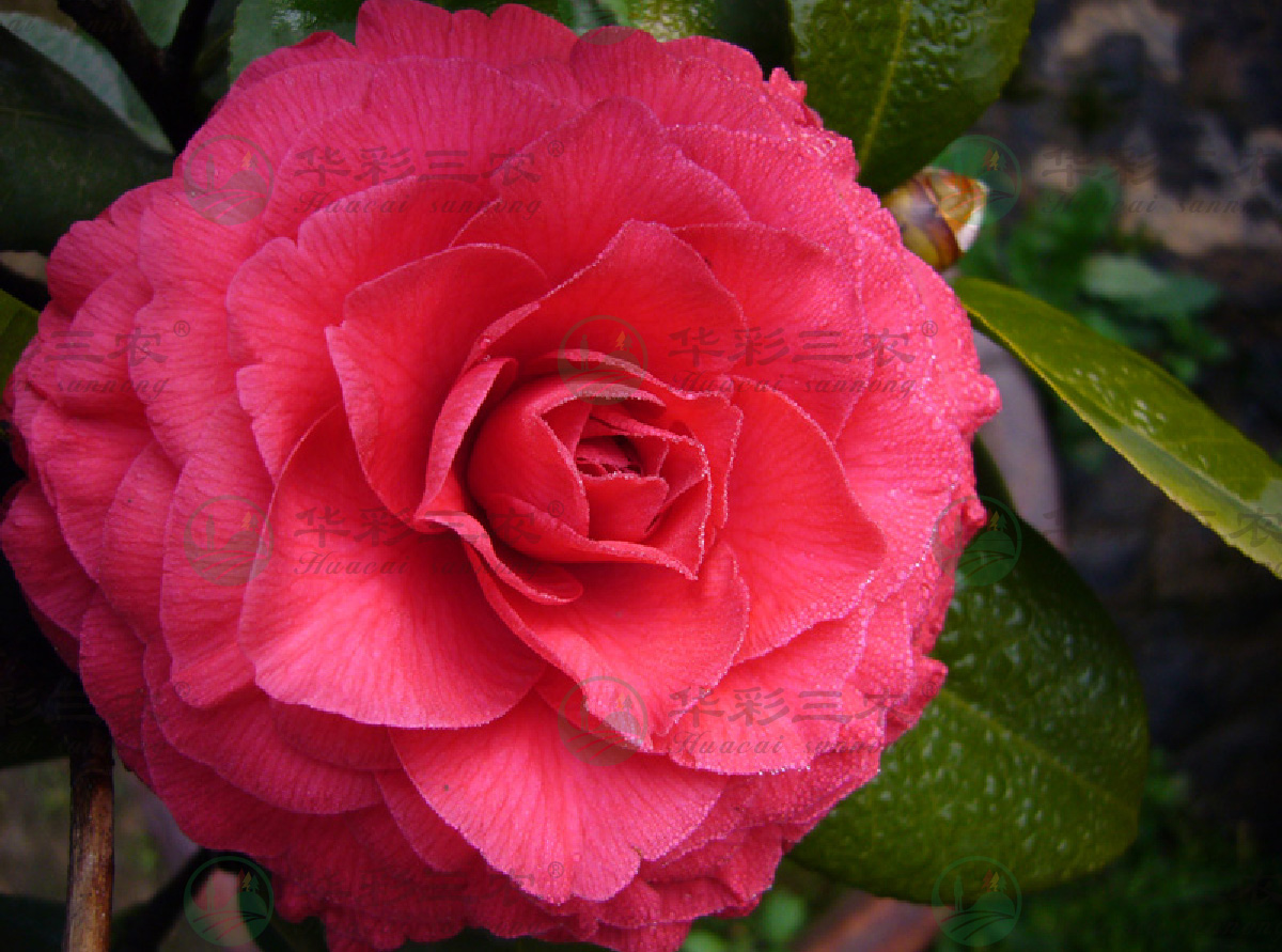 美国贝拉大玫瑰茶花
