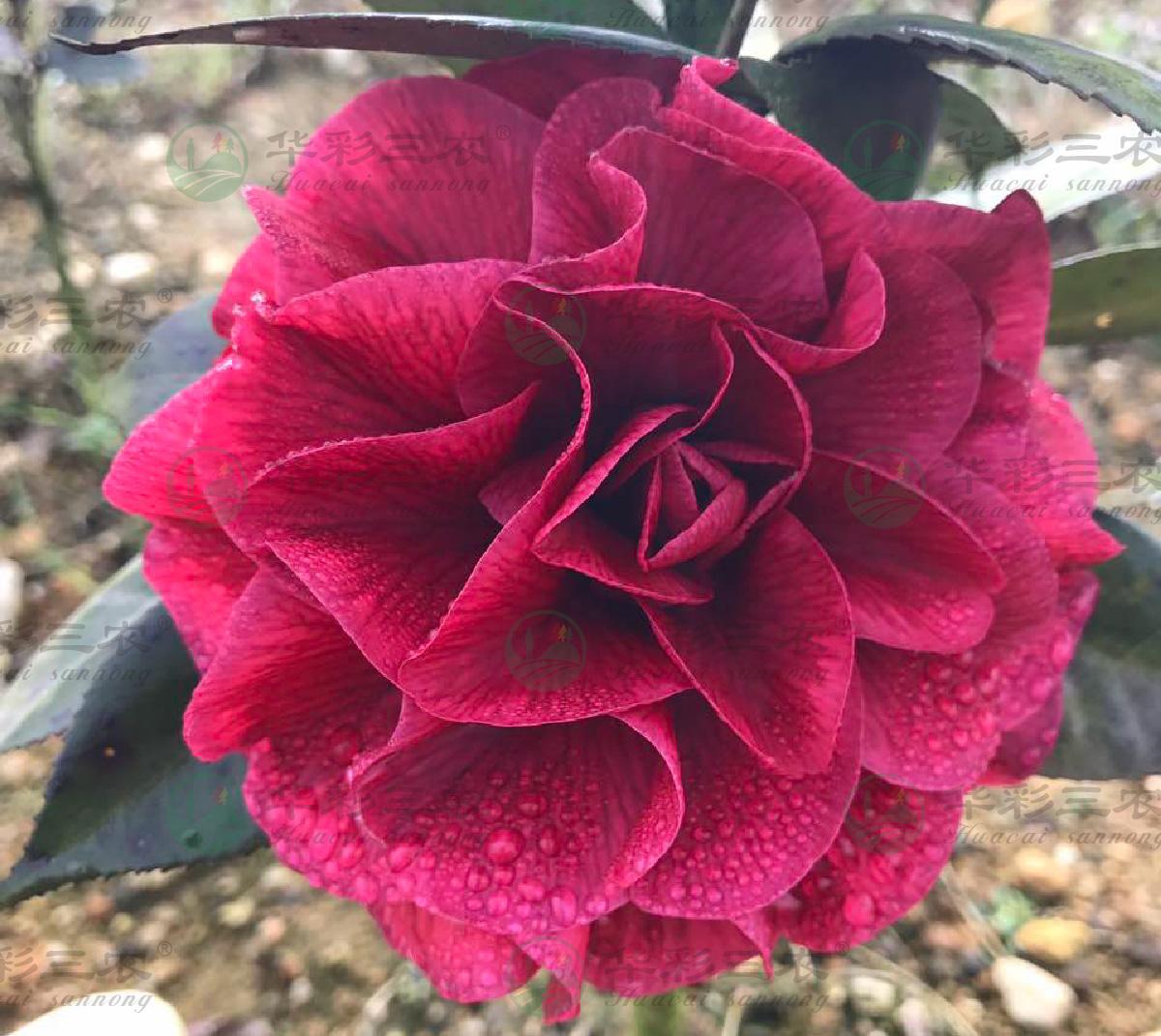 四川美国红叶贝拉茶花