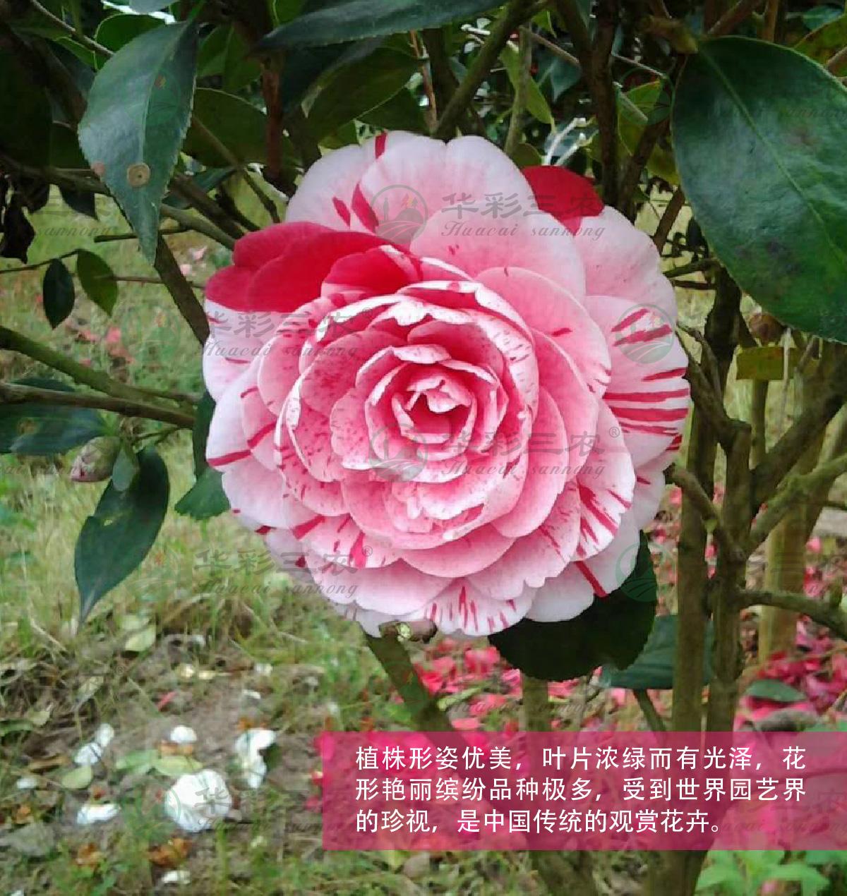 四川五色赤丹茶花