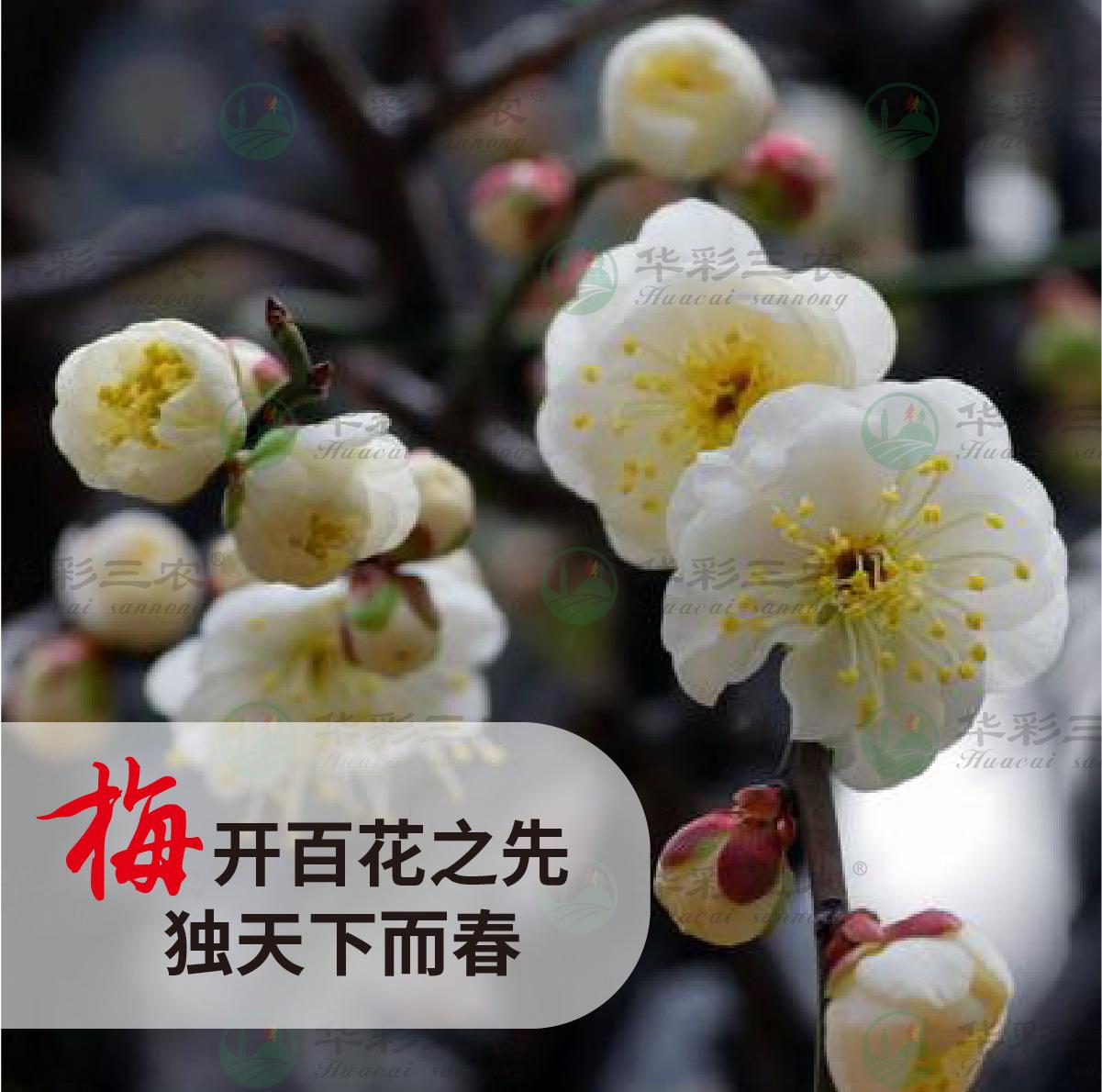 四川曹王黄香梅
