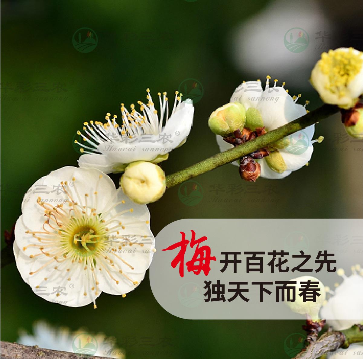 四川变绿萼梅