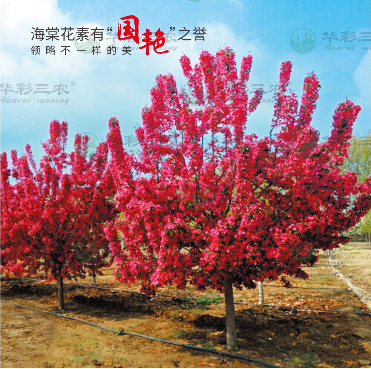 速生红花海棠