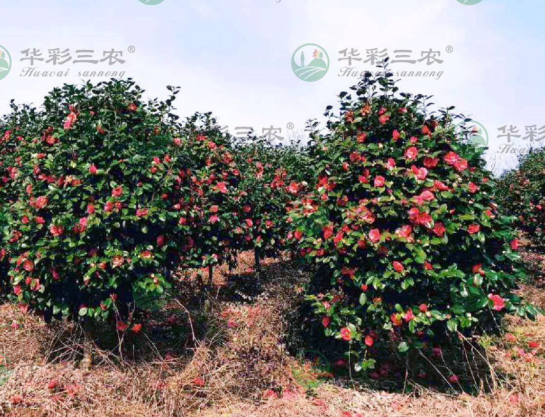 四川麦露冬茶花