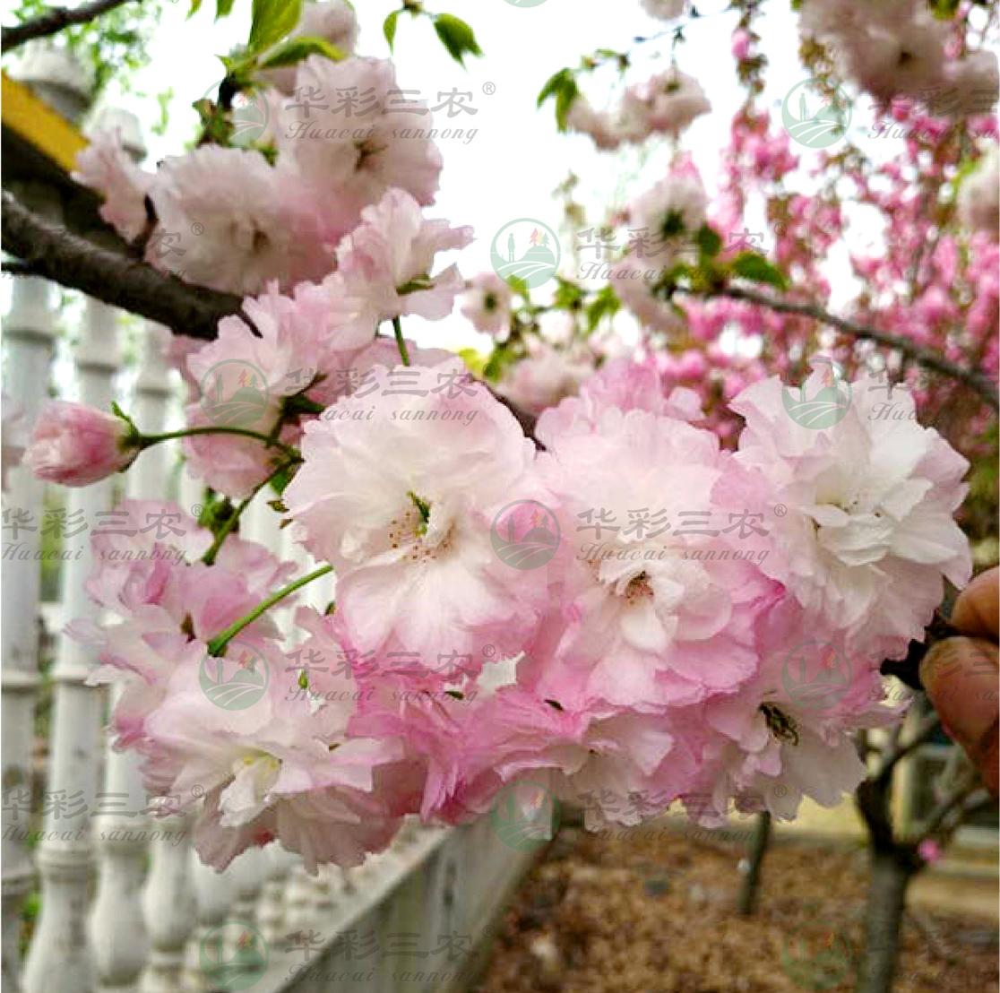 安徽松月樱