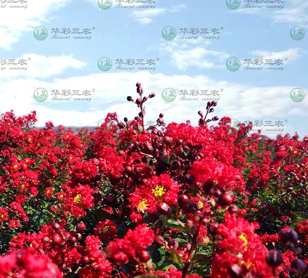 美国红火球紫薇