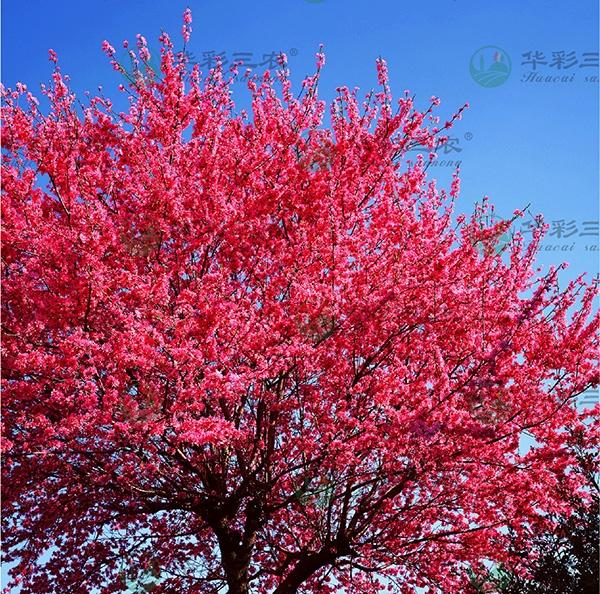 台湾牡丹樱