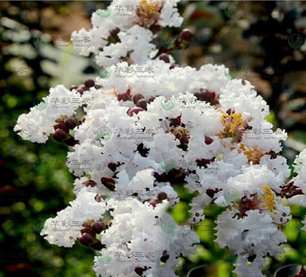 美国飞雪紫薇