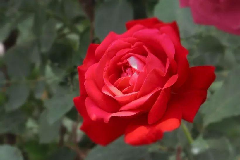 灯笼树常见病虫害及其防治方法_月季常见病虫害及防治方法介绍_玫瑰常见病虫害防治方法